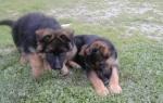 allevamento_cuccioli2
